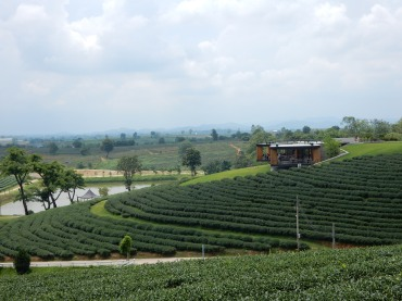 chiangrai-thailand-chouifongteaplantation-2
