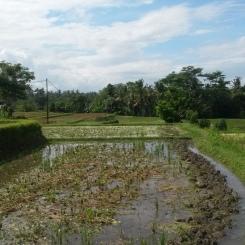 ubud-bali-campuhan ridge walk 04 (4)